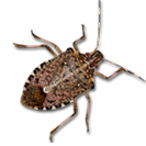 Common pest known as the stinkbug